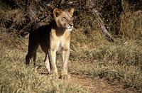Young lion 11087003627| 写真素材・ストックフォト・画像・イラスト素材|アマナイメージズ