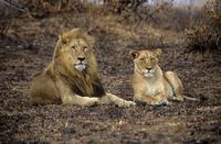Lion and lioness 11087003635| 写真素材・ストックフォト・画像・イラスト素材|アマナイメージズ