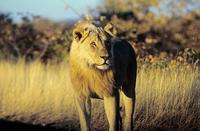 Lion 11087003644| 写真素材・ストックフォト・画像・イラスト素材|アマナイメージズ