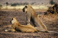 Two lions 11087003660| 写真素材・ストックフォト・画像・イラスト素材|アマナイメージズ