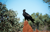 Eagle on a termite hill