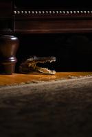 Crocodile under a chair