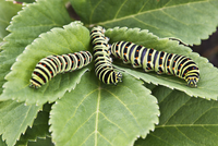 Sweden, Close-up of three caterpillars on green leaf
