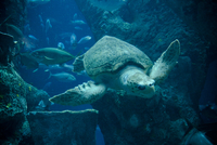 USA, Sea Turtle swimming under water