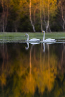 Sweden, Narke, Two swans on lake