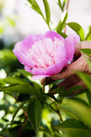 Sweden, Vastra Gotaland, Hand touching peony