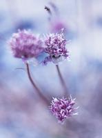 Sweden, Sodermanland, Close-up view of blue clover flower