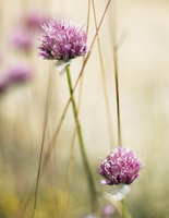 Sweden, Sodermanland, Close-up view of pink clover flower