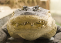 Sweden, Close up of crocodile head