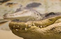 Sweden, Close up of crocodile head