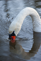 Sweden, Sodermanland, Swan in water
