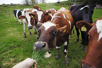 Sweden, Ostergotland, Cow eating grass from human hand