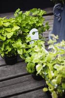 Sweden, Ostergotland, Herbs growing in pots