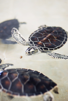 Mexico, Cancun, Sea turtle hunting underwater 11090008632| 写真素材・ストックフォト・画像・イラスト素材|アマナイメージズ