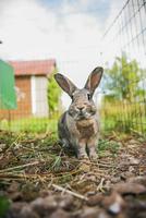 Sweden, Rabbit in cage