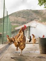 Portugal, Douro Valley, Cockerel in farm