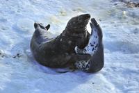 Sweden, Uppland, Stockholm Archipelago, Svenska Stenarna, Two seals on beach
