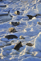 Sweden, Uppland, Stockholm Archipelago, Svenska Stenarna, Group of seals on snowy beach