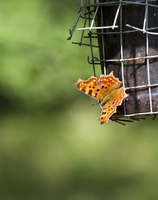 Picture of comma (Nymphalis C-album)