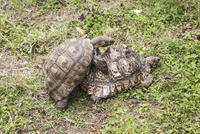 New Zealand, Testudo, Two turtle mating