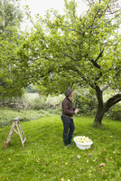 Sweden, Oland, Man picking apples from tree in garden