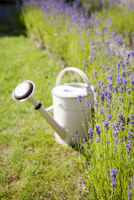 Sweden, Vastra Gotaland, White watering can and lavender flowers in backyard