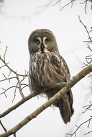 Sweden, Sodermanland, Owl perching on branch