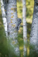 Sweden, Sodermanland, Owl peeking around tree