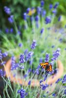 Sweden, Uppland, Danderyd, Butterfly on lavender flowers