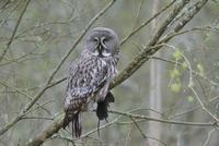 Sweden, Uppland, Lidingo, Owl perching on branch
