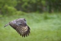 Sweden, Uppland, Lidingo, Owl in flight