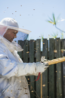 Australia, Queensland, Beekeeper inspecting honeycomb