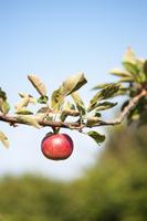 Sweden, Skane, Kivik, Red apple on apple tree