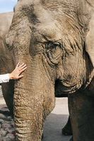 Sweden, Vastra Gotaland, Sandared, Hand stroking elephant