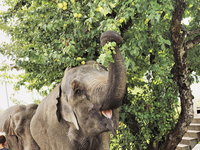 Sweden, Vastra Gotaland, Sandared, Elephant eating leaves from tree