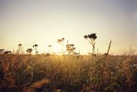 Sweden, Skane, Sunset over field