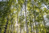 Sweden, Sodermanland, Stigtomta, Trees in forest