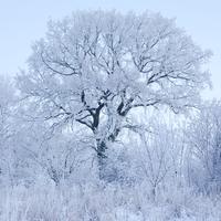 Sweden, Skane, Sodra Sandby, Frozen tree against sky