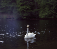 Sweden, Skane, Soderasen National park, Swan (Cygnus cygnus) in water 11090016844| 写真素材・ストックフォト・画像・イラスト素材|アマナイメージズ