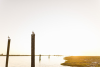 Canada, British Colombia, Seagulls perching on wooden posts 11090018147| 写真素材・ストックフォト・画像・イラスト素材|アマナイメージズ