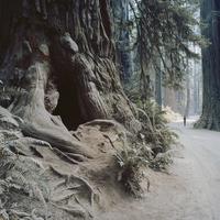 USA, California, Man walking through Jedediah Smith Redwood State Park
