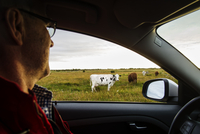 Sweden, Oland, Egby, Mature man in car observing cows grazing in field 11090019446| 写真素材・ストックフォト・画像・イラスト素材|アマナイメージズ