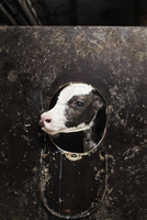 Sweden, Uppland, Grillby, Lindsunda, Young cow (Bos taurus) in pen 11090019906| 写真素材・ストックフォト・画像・イラスト素材|アマナイメージズ