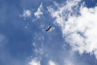 Eagle flying against blue sky