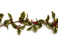 Christmas holly with red berrys  11092002968| 写真素材・ストックフォト・画像・イラスト素材|アマナイメージズ