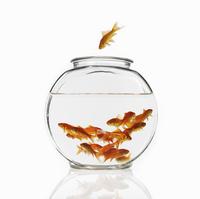 Goldfish swimming in a bowl 11093000362| 写真素材・ストックフォト・画像・イラスト素材|アマナイメージズ