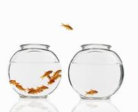 Goldfish swimming in a bowl 11093000363| 写真素材・ストックフォト・画像・イラスト素材|アマナイメージズ