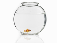 Goldfish swimming in a bowl