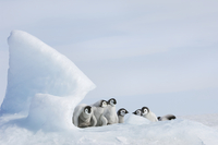 A nursery group of young penguin chicks, huddled