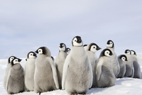 Emperor penguin chicks, huddled together. A breeding colony.
